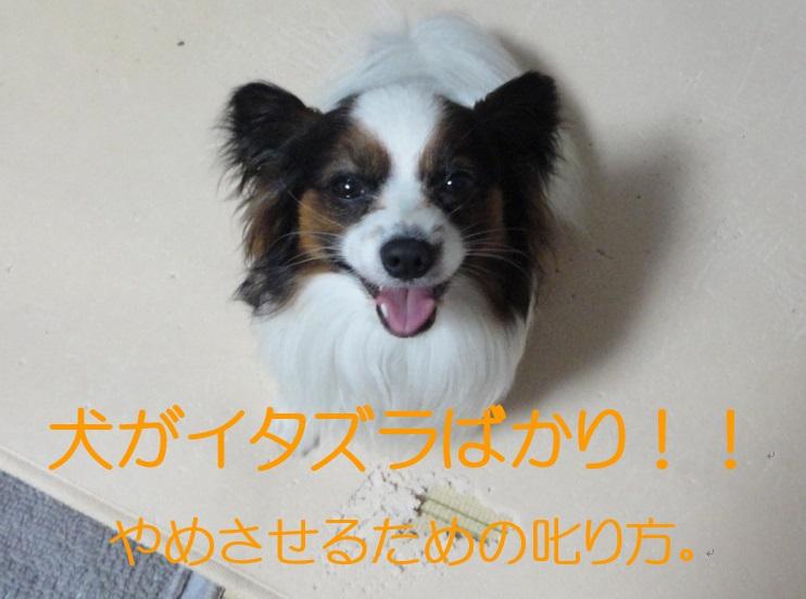 犬がイタズラばかり!!やめさせるための効果的な叱り方を一挙公開。
