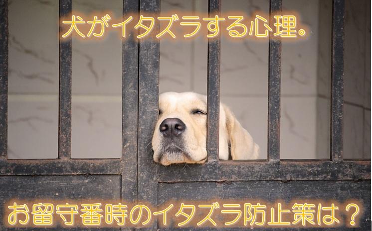 犬がイタズラする心理。お留守番時のイタズラ防止策は?