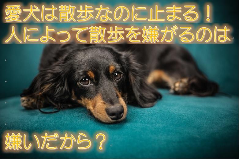 愛犬は散歩なのに止まる!人によって散歩を嫌がるのは嫌いだから?