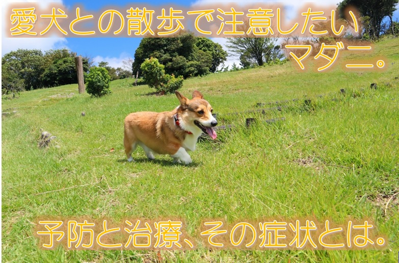 愛犬との散歩で注意したいマダニ。予防と治療、その症状とは。