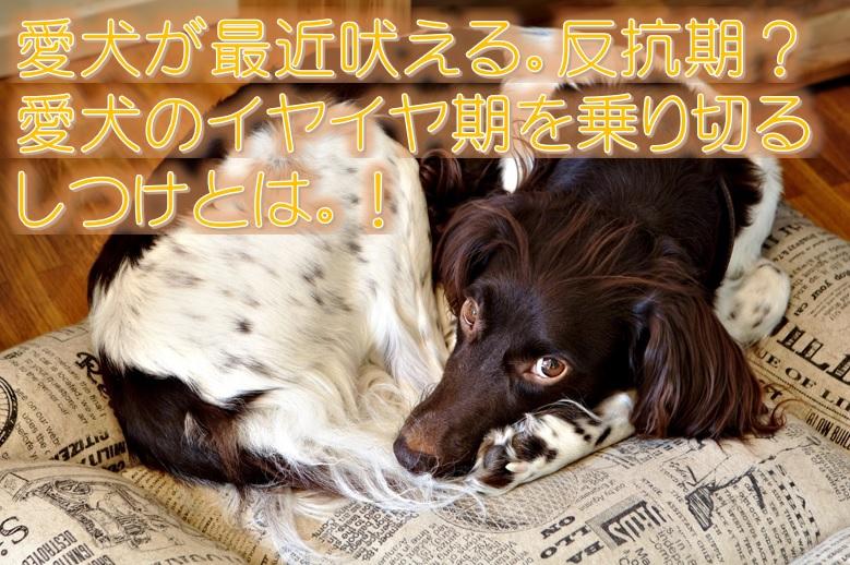愛犬が最近吠える。反抗期?愛犬のイヤイヤ期を乗り切るしつけとは。