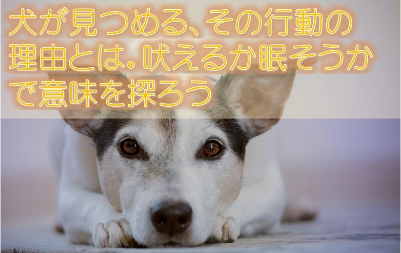 犬が見つめる、その行動の理由とは。吠えるか眠そうかで意味を探ろう